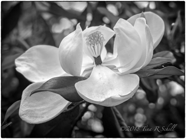 tina_schell_magnolia-ii
