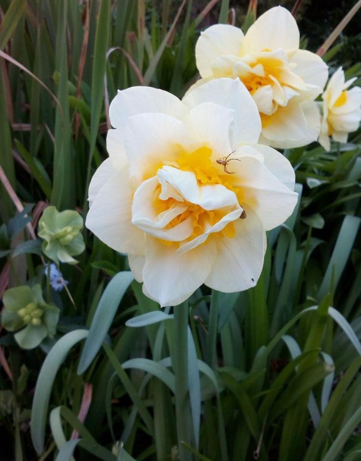rsz_daffodil_spider_1000w