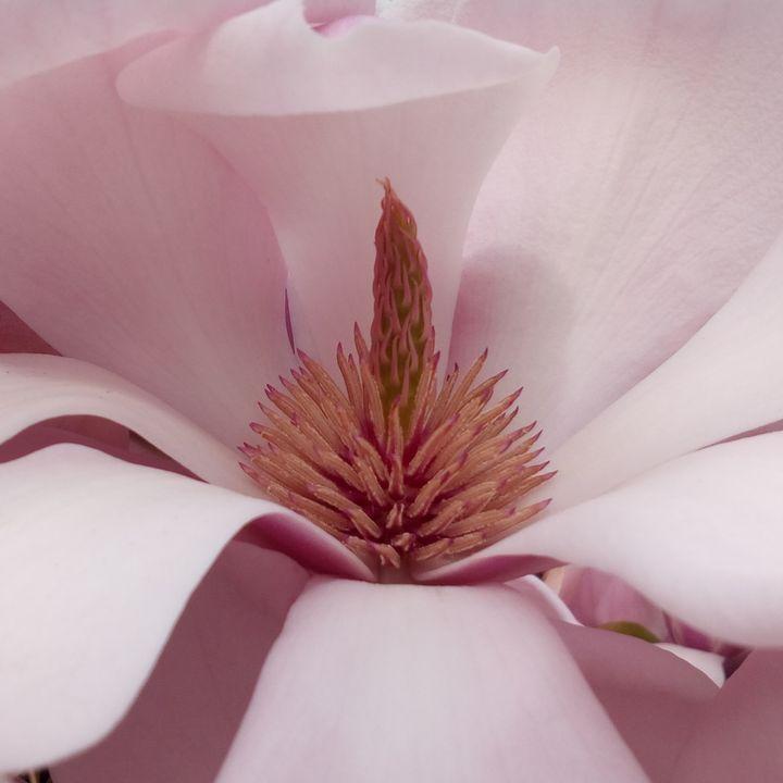 rsz_gore_magnolia_720w
