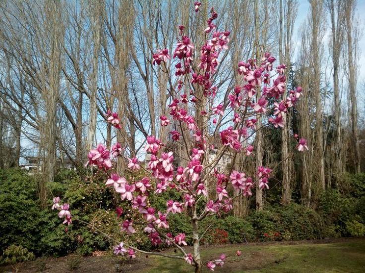 rsz_gorebp_magnolia_01