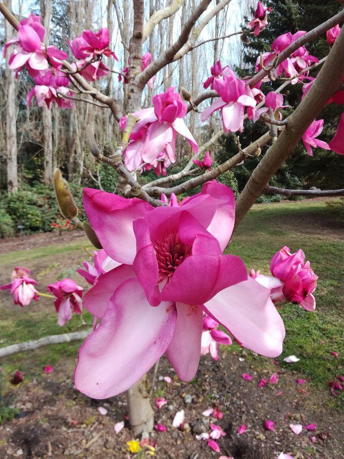 rsz_gorebp_magnolia_02
