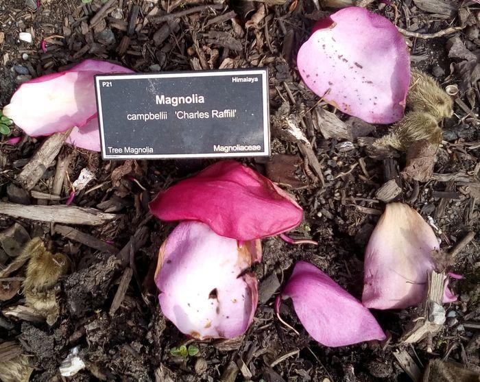 rsz_gorebp_magnolia_04