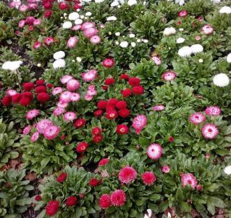pompom daisies nearby