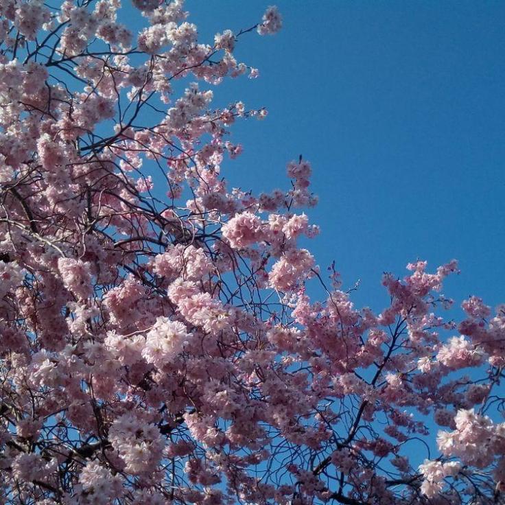 rsz_pink_blossom_02_750sq