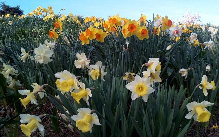 spring2018_daffodils_00