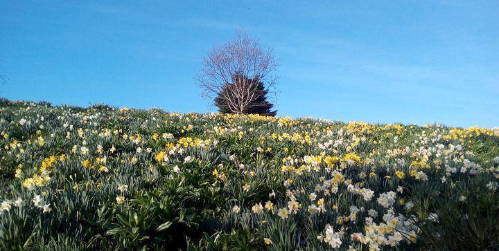 spring2018_daffodils_03