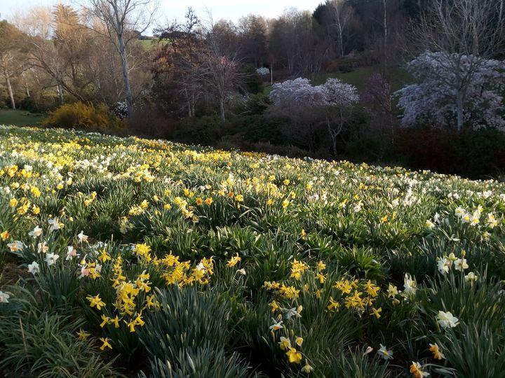 spring2018_daffodils_05
