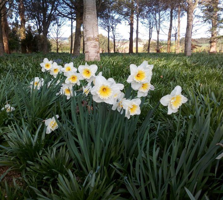 spring2018_daffodils_06