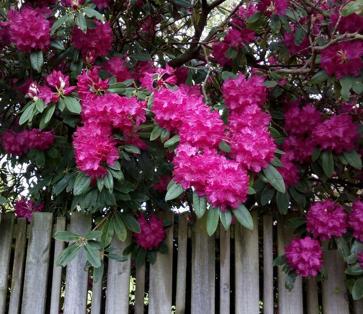 gore_street_blossom_pink_02