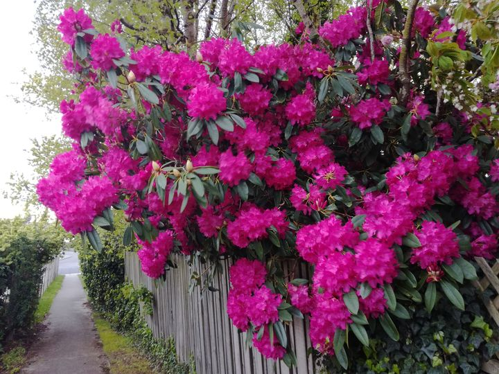 gore_street_blossom_pink_03
