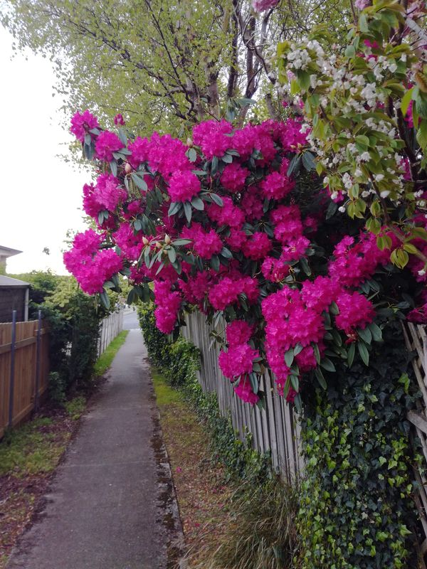 gore_street_blossom_pink_04