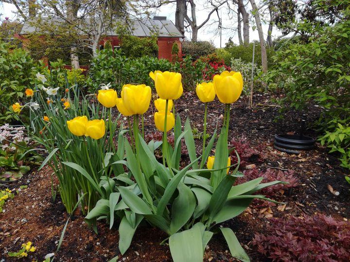 gore_yellow_tulips_01