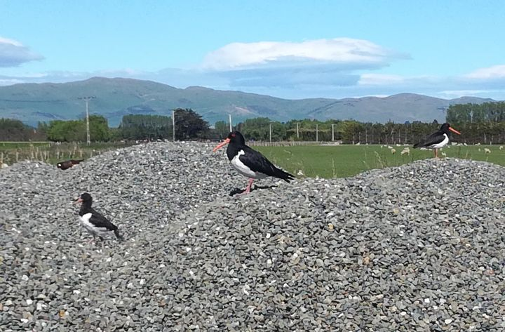 oystercatchers_riversdale_pyramid_rd01