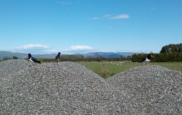 oystercatchers_riversdale_pyramid_rd03