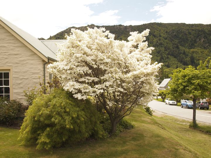 arrowtown_dogwood_01