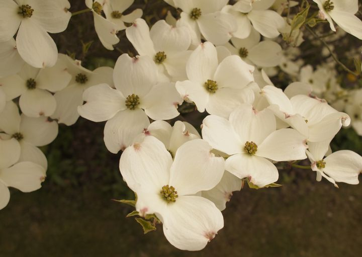 arrowtown_dogwood_02