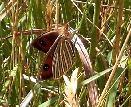 common_tussock_butterfly_03