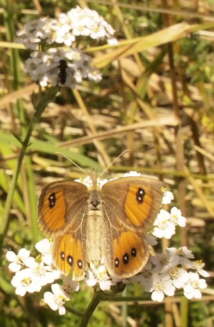 common_tussock_butterfly_moa_flat_02