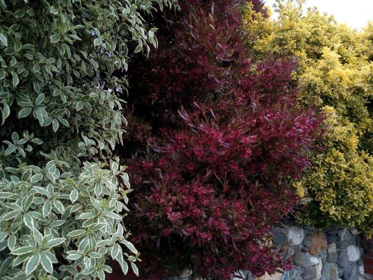 gore_multi_coloured_hedge