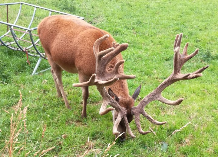 gore_stag_03