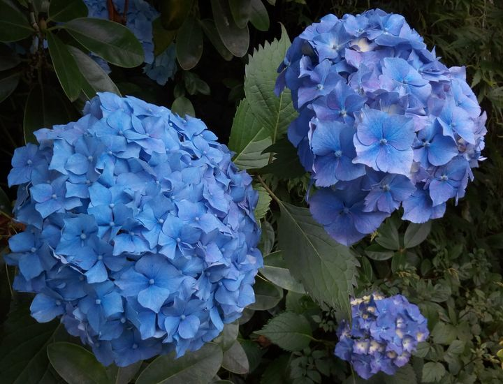hydrangeas_maple_glen_01