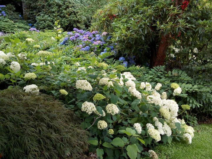 hydrangeas_maple_glen_02
