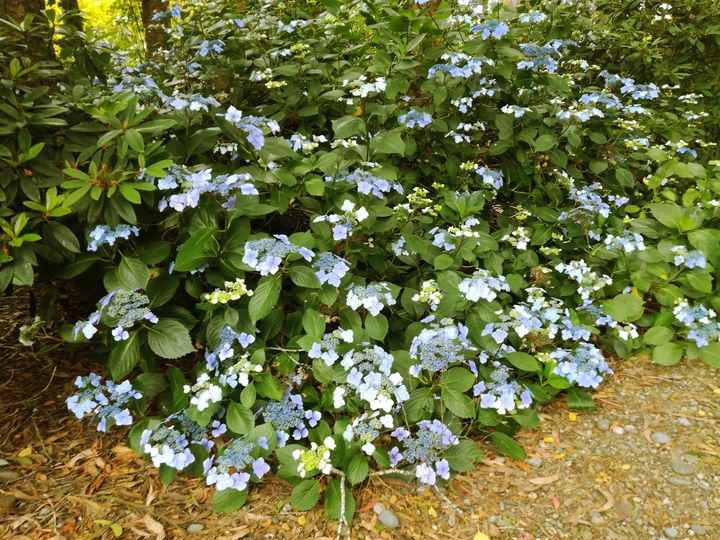 hydrangeas_maple_glen_04