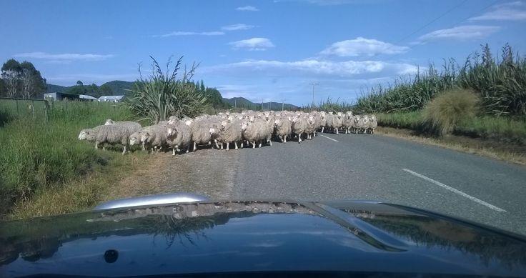 sheep_mokoreta_20151221_1800w