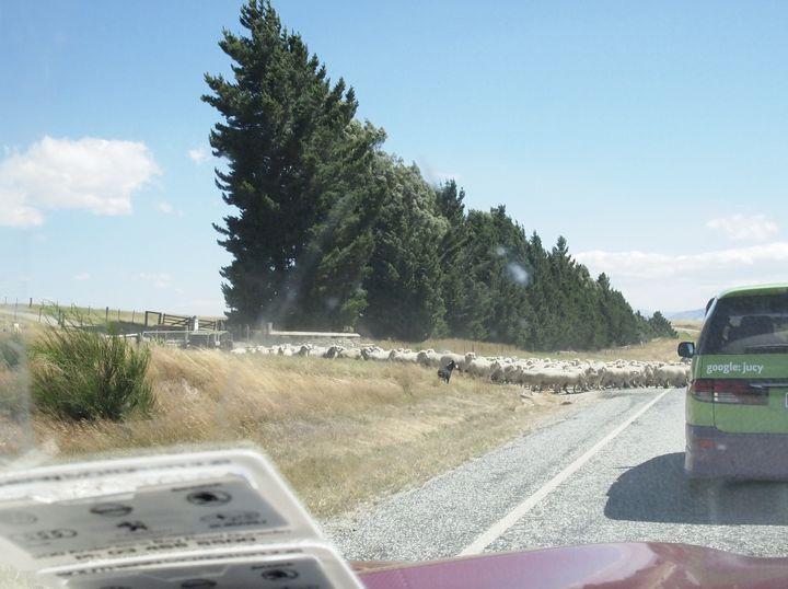 sheep_road_03