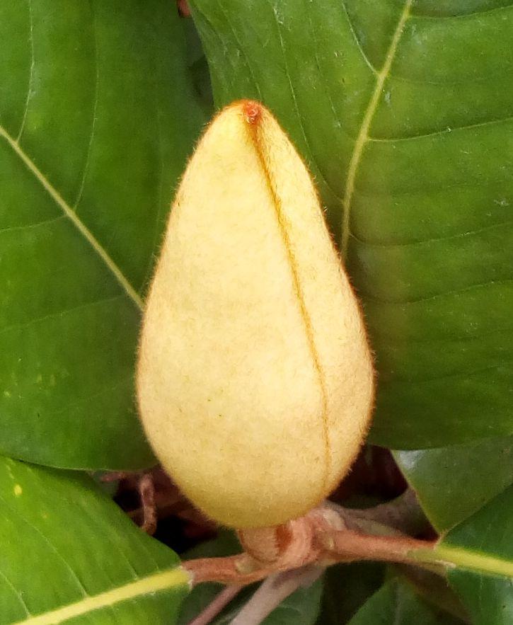 gore_magnolia_02