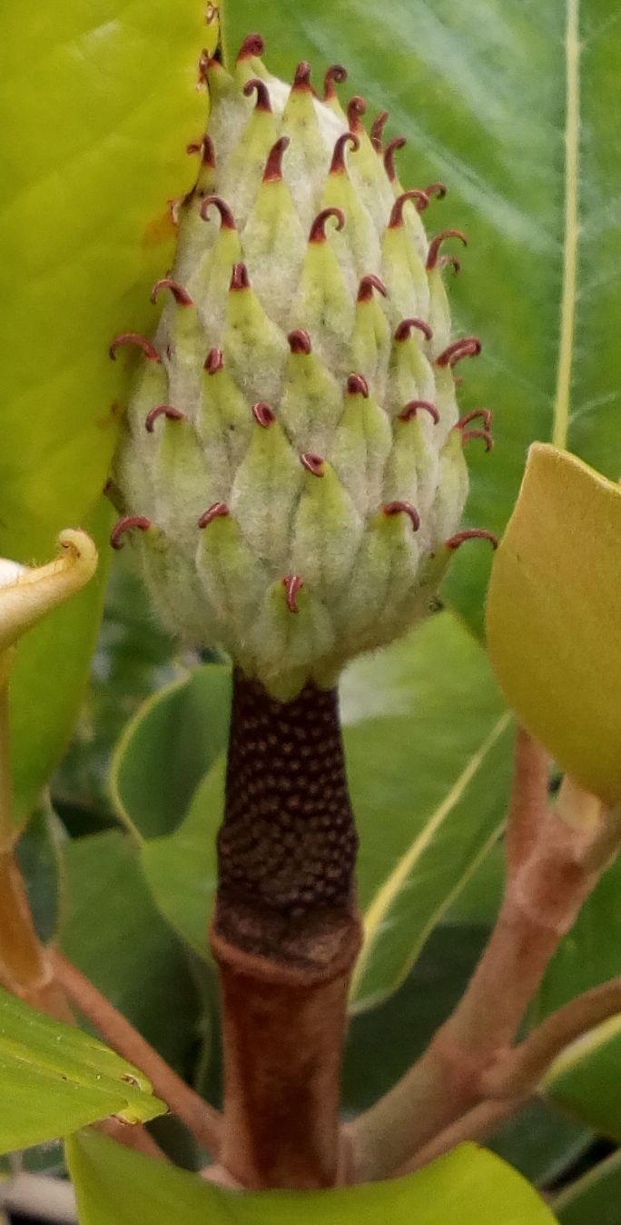 gore_magnolia_03