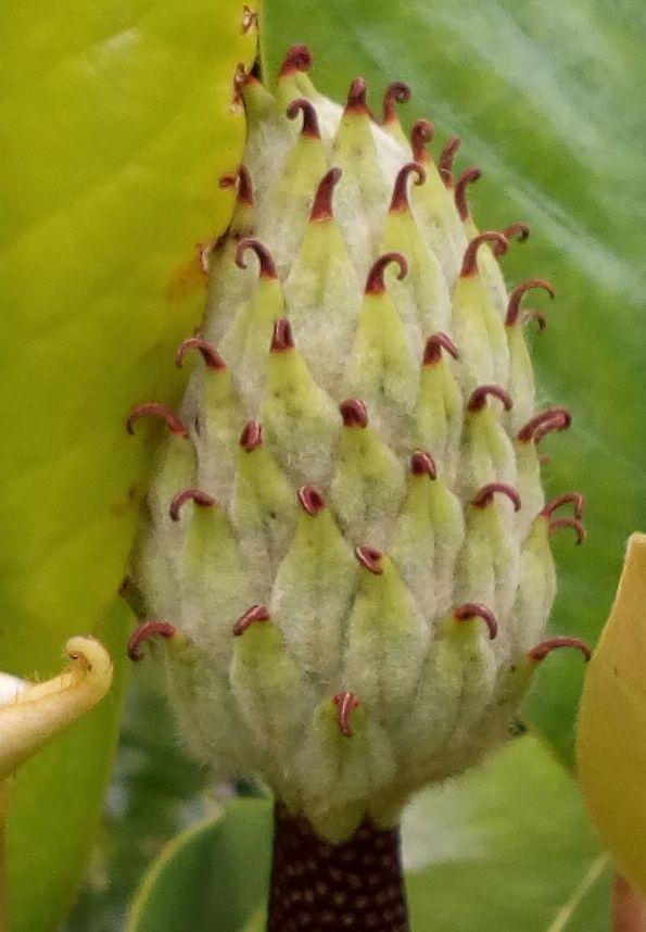 gore_magnolia_04