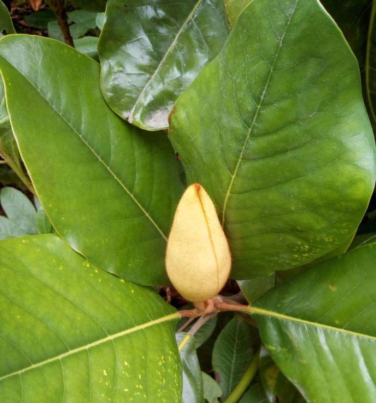 gore_magnolia_05