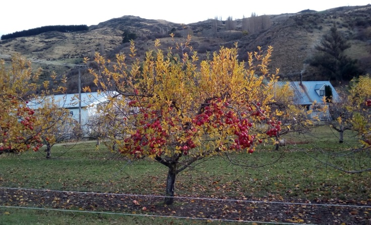 roxburgh_apples_31May2019