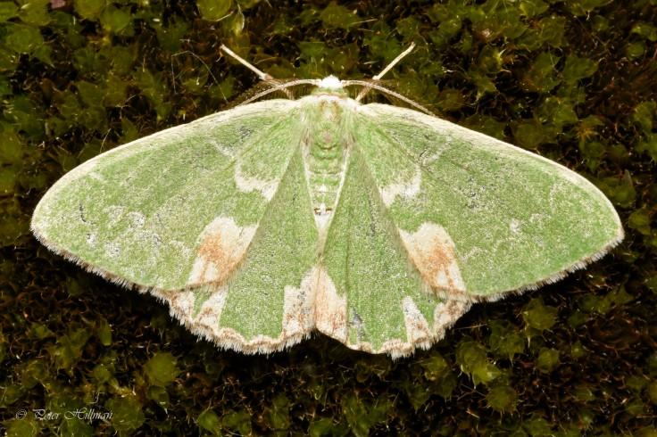 blotched-emerald-comibaena-bajularia