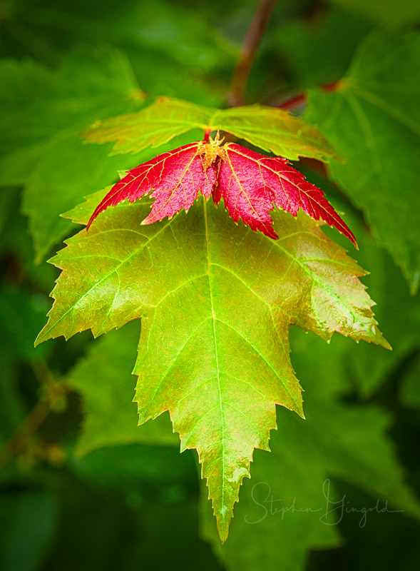 red-maple-leaves-061719-800