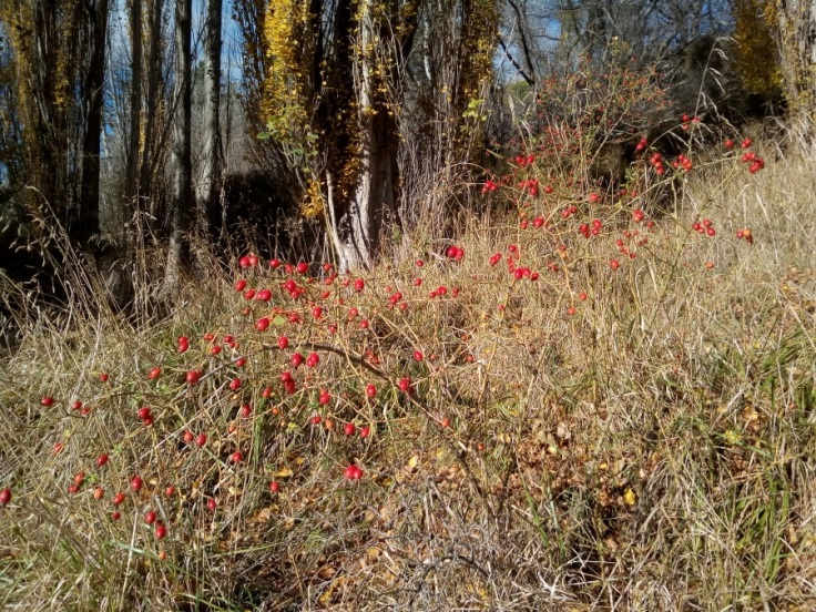 rosehips_gorgecreek