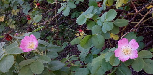 bannockburn_roses_cropped