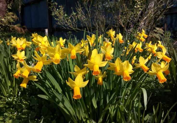 our_daffodils_01