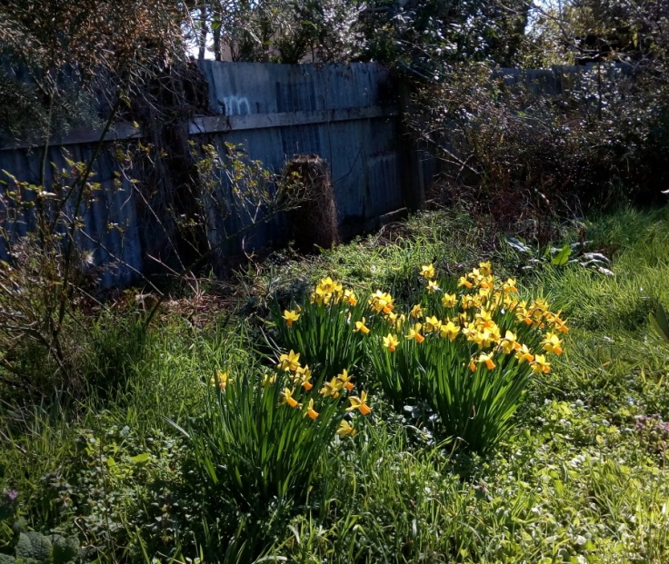 our_daffodils_03