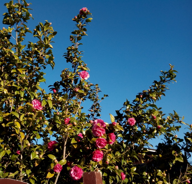 tapanui_northum_camellia