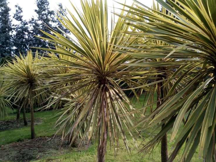 variegated_cordyline_inv27Aug2019_01