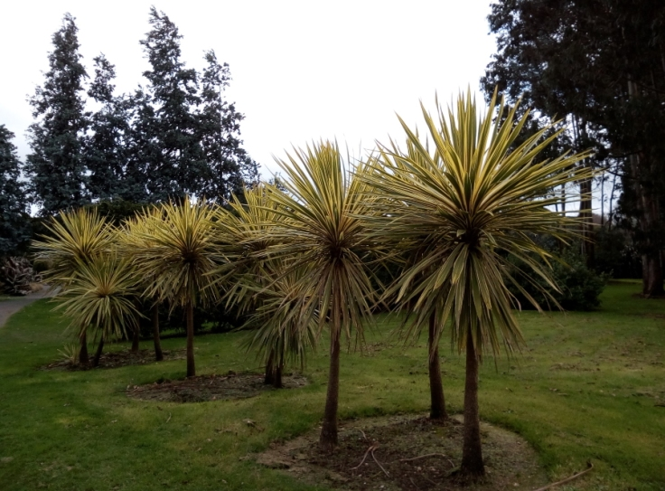 variegated_cordyline_inv27Aug2019_02