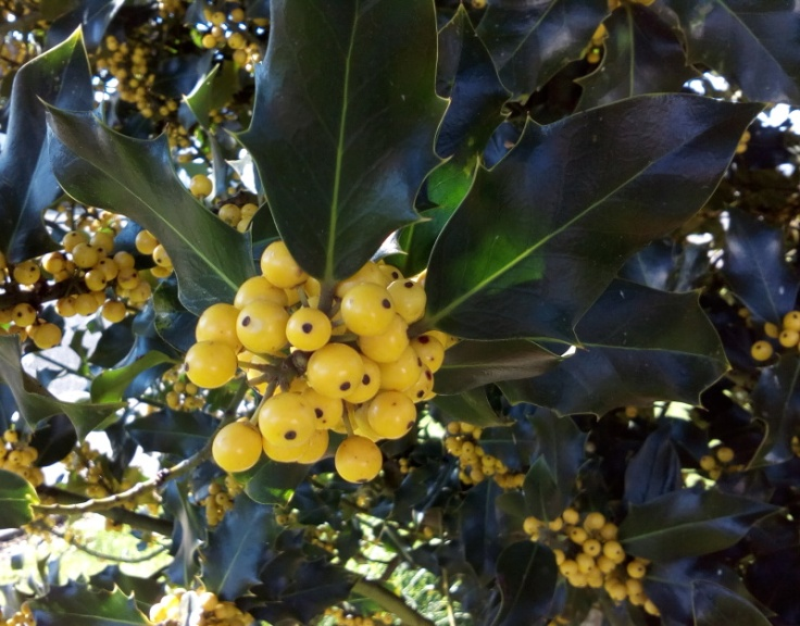 yellow_holly_03