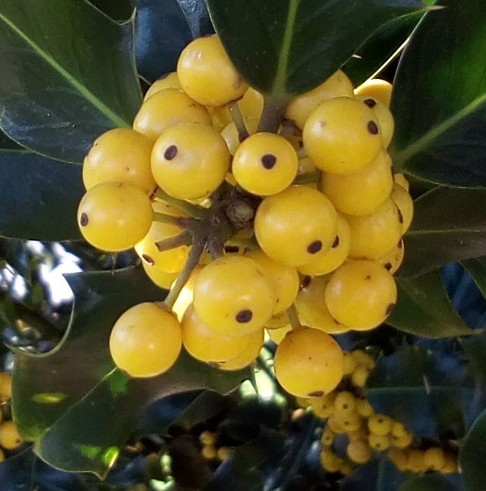 yellow_holly_05