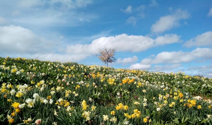 mg_daffodil_hillside_02_1200w