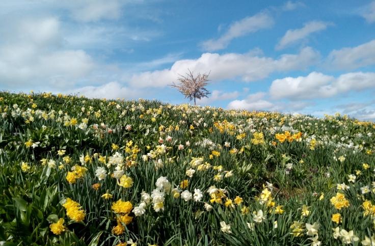 mg_daffodil_hillside_03_1200w