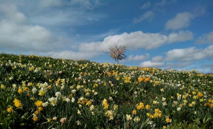 mg_daffodil_hillside_1200w