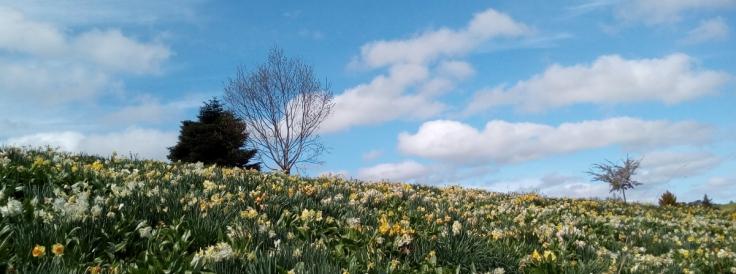 mg_daffodils_hillside_04_1200w