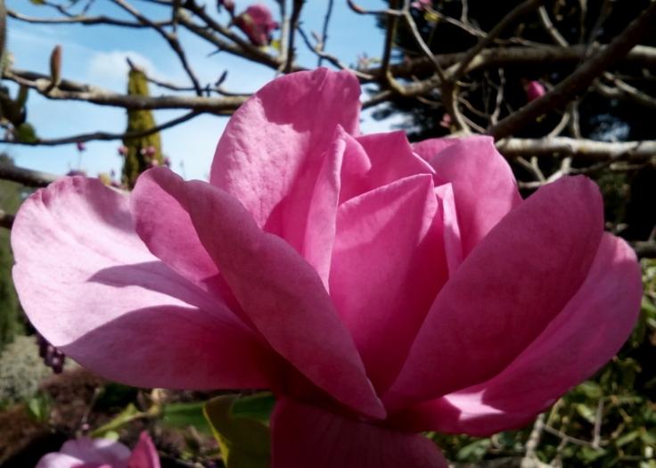 mg_magnolia_01